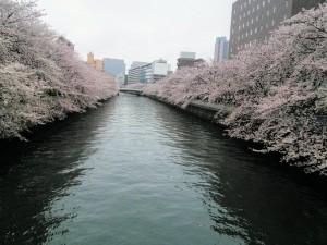 fukagawa sakura